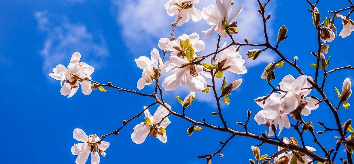https://senioruniversitetet.se/wp-content/uploads/2017/12/magnolia-2096958_1920-1.jpg